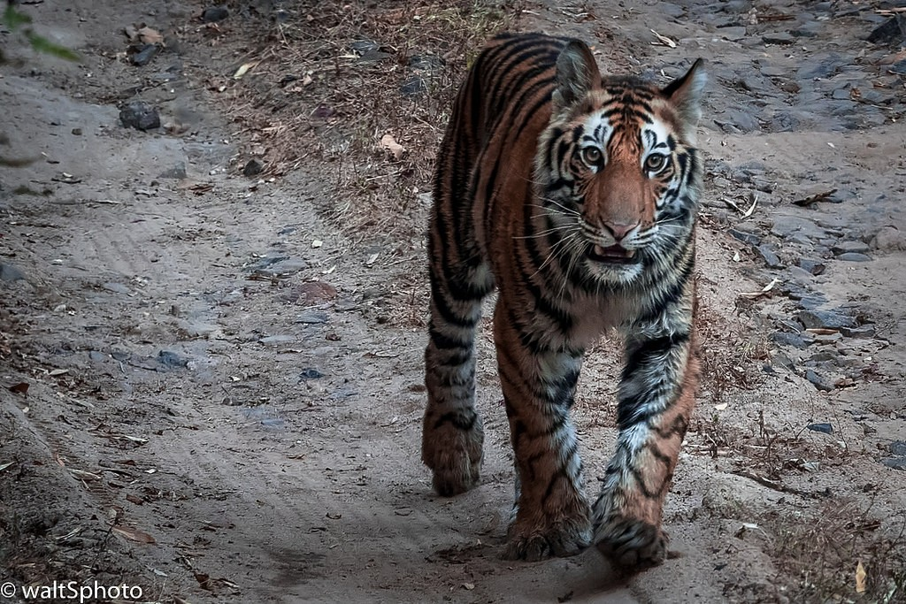 Tiger Cub taken at Bandhavgarh Tiger Reserve by client Walter Shepherd.