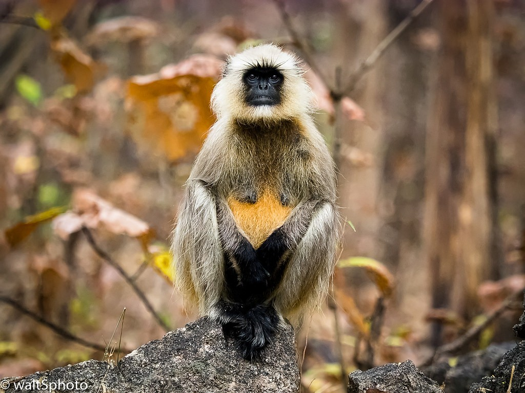 Langur Monkey, taken by client Walter Shepherd