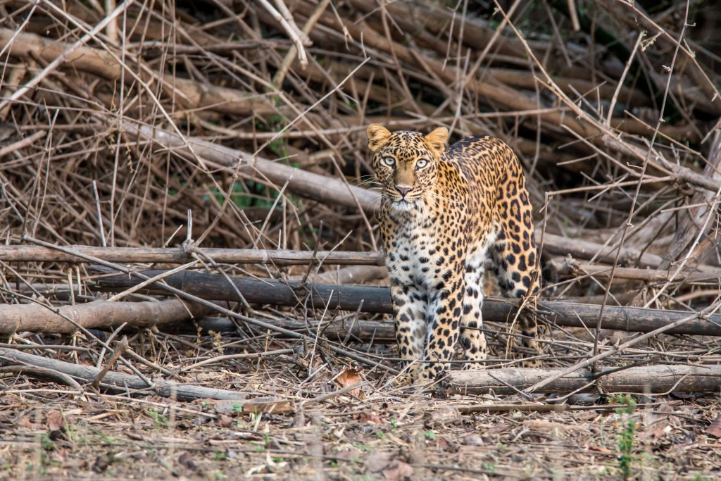 Wild Heart of India Safari Experience