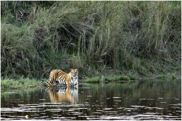 Tiger safari tours with Mantra wild
