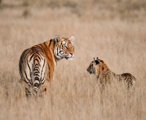 Wild Heart of India Safari Experience