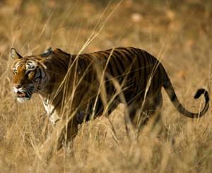 Tiger Safari Tours Mantra Wild