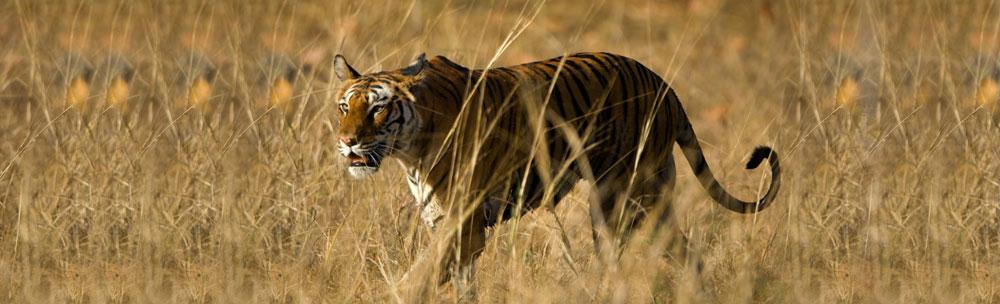 Ranthambhore Tiger Mantra Wild Taj Tigers Palaces Tour