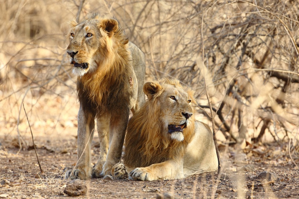 Asiatic Lion Mantra Wild Safari Tour