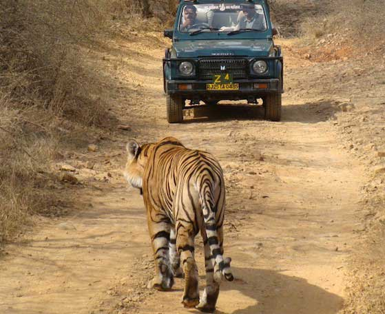 Wild Rajasthan: Leopards, Tigers & Forts (SMALL GROUP TOUR)