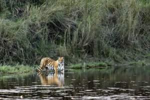 Wild hear of India