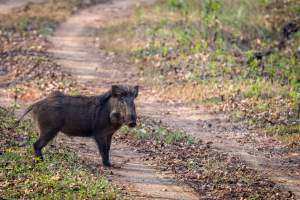 Tiger Safari Tour Mantra Wild