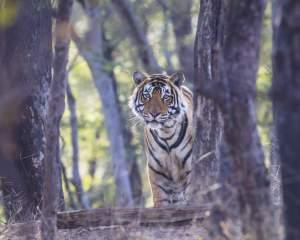 Tiger Safari Group tour