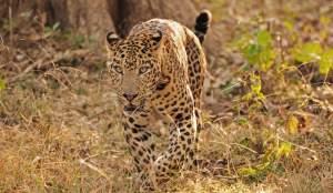 India Wildlife Tiger Safari Group tour